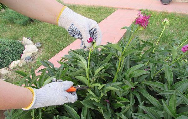 Обрезка пионов после цветения