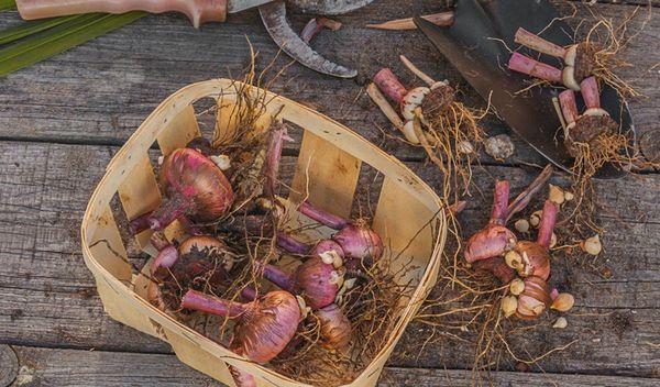 Подготовка луковиц гладиолусов к хранению