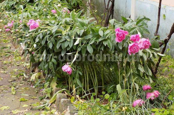 Цветущие пионы после грозы