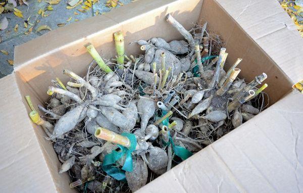 Хранение георгин в ящиках