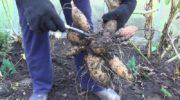 Когда выкапывать георгины осенью и как их хранить