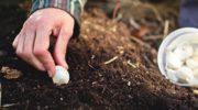 Посадка чеснока осенью под зиму. Когда сажать чеснок осенью