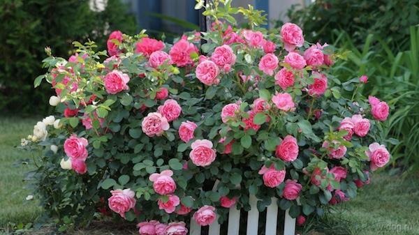 Куст цветущих роз