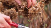 Обрезка древовидной, метельчатой и крупнолистной гортензии осенью