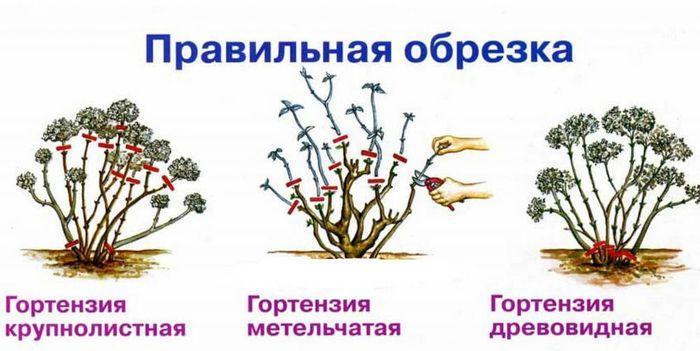 Обрезка разных видов гортензии