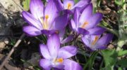 Крокусы: посадка осенью. Сроки посадки цветка