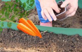 Как правильно посадить морковь под зиму
