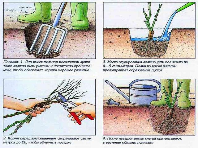 Схема посадки розы в грунт