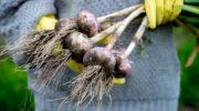 После чего сажать чеснок под зиму и весной. Что сажать после чеснока