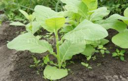 Выращивание курительного табака и махорки