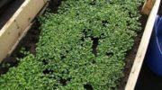 Обзор лучших сидератов - рекомендации агрономов