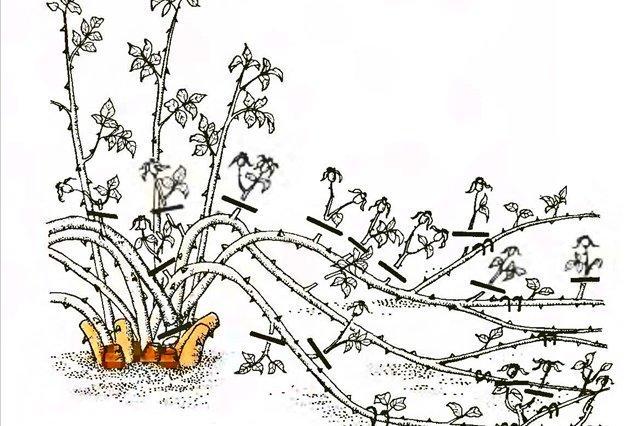 Как обрезать розы плетистые осенью перед укрытием