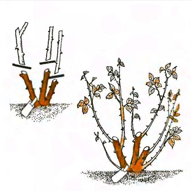 Обреза чайно-гибридной розы осенью 1 год