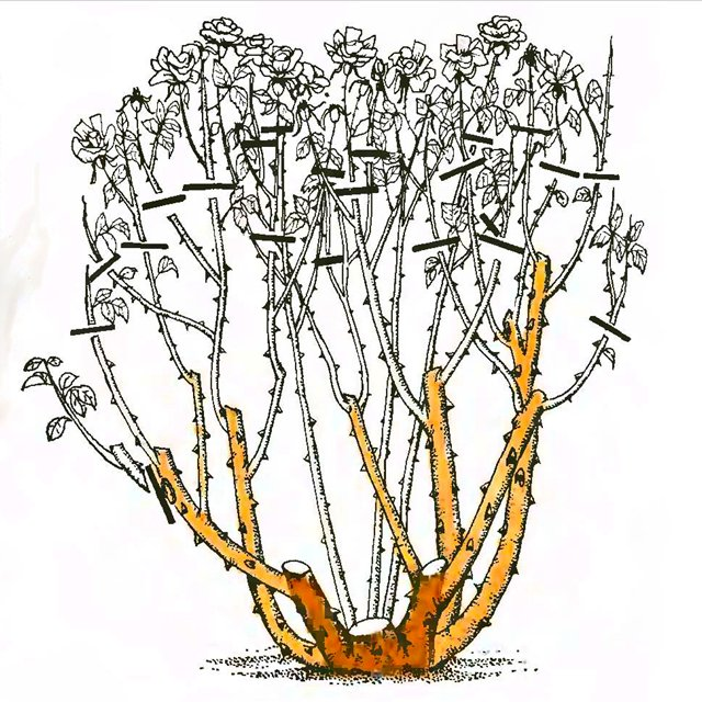 Обреза чайно-гибридной розы осенью 2 год
