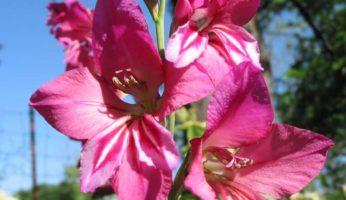 Gladiolus Communis