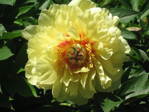 Пион Garden Treasure