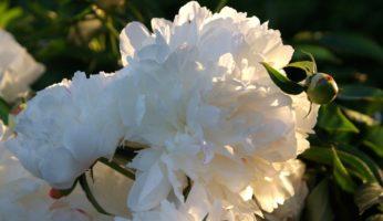 Пион white Sarah Bernhardt
