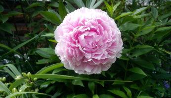 Пион Сара Бернар молочноцветковый