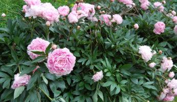 Пион Сара Бернар молочноцветковый куст