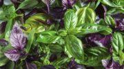 Лучшие сорта фиолетового и зеленого базилика