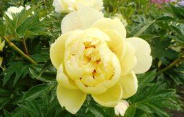 Сорта желтых пионов