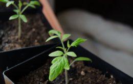 Сроки посадки и высадки помидоров