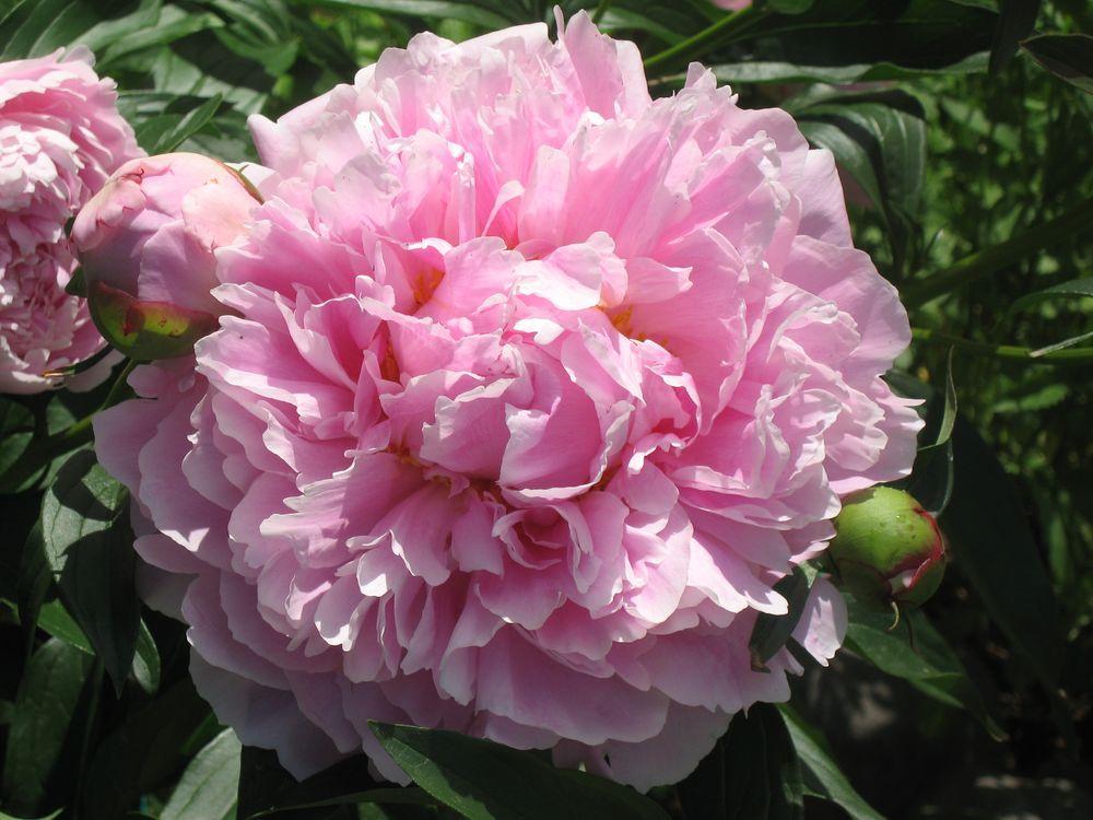 Цветок пиона Сара Бернар