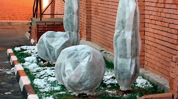 Укрытие пиона на зиму
