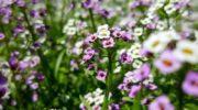 Алиссум и Лобулярия - особенности выращивания и ухода