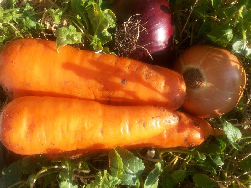 Рекомендации по выращиванию отличной морковки