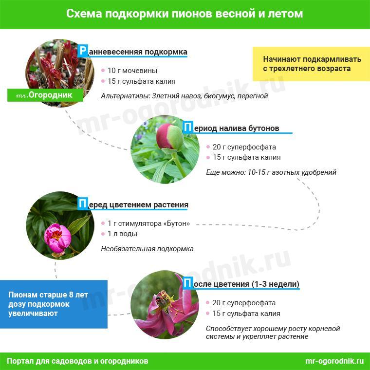 Инфографика: Схема подкормки пионов весной и летом