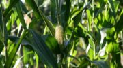 Когда и как сажать кукурузу в 2019 году