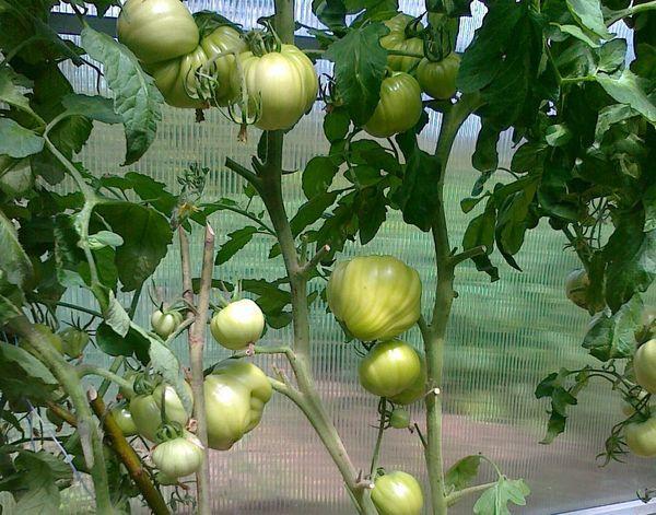 Куст томатов Бычье сердце
