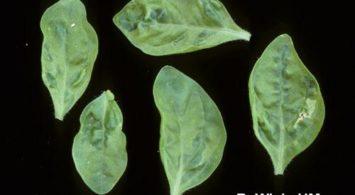 Листья петунии табачная мозаика