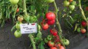 Новые сорта томатов для теплиц на 2018-2019 годы