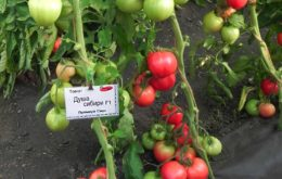 Новые сорта томатов для теплиц