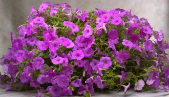 Petunia Explorer-Lavender