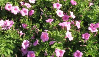 Petunia Explorer Pink