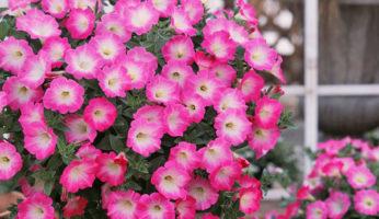 Petunia Opera Supreme Pink Morn
