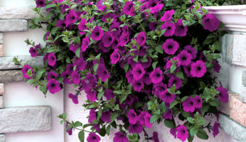 Petunia Opera Supreme Purple