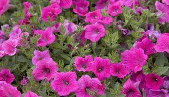 Petunia Rose Vein Velvet