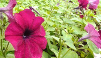 Петуния Лавина Пурпурная