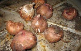 Почему луковицы гладиолусов мягкие