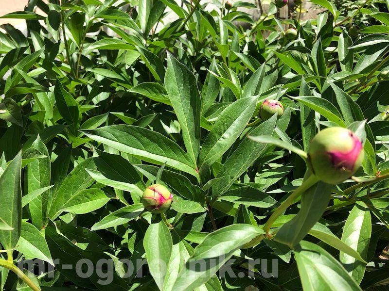 Подкормка пионов весной для обильного цветения