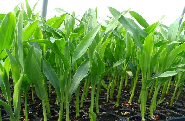 Подросшая рассада кукурузы