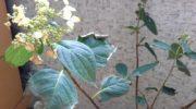 Почему у гортензии сохнут листья по краям?