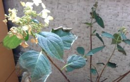 Сохнут листья по краям гортензии