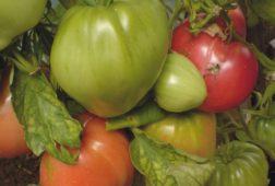 Сорт томата Бычье сердце