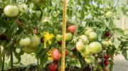 Новые сорта томатов для открытого грунта на 2018-2019 годы