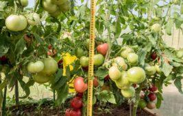 Новые сорта томатов для открытого грунта